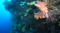 Ocean scenery stops at nice chironephthya patch, on deep wall, HD, UP17302 Stock Footage
