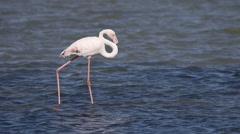 One Greater Flamingo walks across a shallow estuary Stock Footage