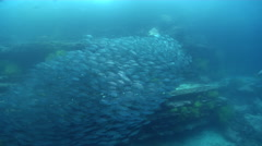 White salema swimming and schooling on wall, Xenichthys agassizii, HD, UP26153 Stock Footage