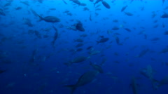 Pacific creole-fish swimming and schooling in bluewater, Paranthias colonus, HD, Stock Footage