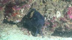 Eastern Blue Devil, Paraplesiops bleekeri, HD, UP26564 Stock Footage