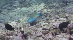 Bullethead parrotfish feeding on shallow coral reef, Chlorurus sordidus, HD, Stock Footage