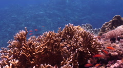Ocean scenery on hard coral microhabitat, HD, UP26852 Stock Footage