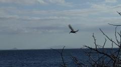 Brown pelican feeding, Pelecanus occidentalis, HD, UP26051 Stock Footage