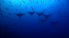 Spotted eagle ray hovering in bluewater, Aetobatus ocellatus, HD, UP26263 Stock Footage