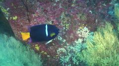 Mexican hogfish feeding on rocky reef, Bodianus diplotaenia, HD, UP26011 Stock Footage