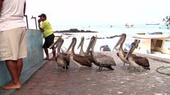 Adults and juveniles Brown pelican, Pelecanus occidentalis, HD, UP26429 Stock Footage