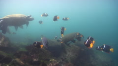 King angelfish hovering on rocky shore, Holacanthus passer, HD, UP26219 Stock Footage