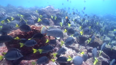Leather bass swimming and schooling on rocky reef, Dermatolepis dermatolepis, Stock Footage
