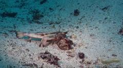 Red lipped batfish on sand, Ogcocephalus darwini, HD, UP26121 Stock Footage