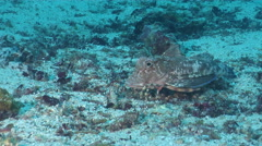 Spiny red gurnard walking on sand, Chelidonichthys spinosus, HD, UP26127 Stock Footage