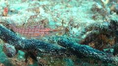 Longnose hawkfish, Oxycirrhites typus, HD, UP26986 Stock Footage