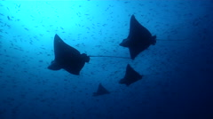Spotted eagle ray hovering in bluewater, Aetobatus ocellatus, HD, UP26366 Stock Footage