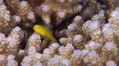 Thick corymbose bush coral swimming on hard coral microhabitat, Acropora Stock Footage