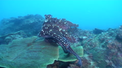 Common reef octopus walking on rocky reef, Octopus cyanea, HD, UP26515 Stock Footage