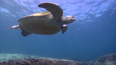 Green turtle swimming on shallow coral reef, Chelonia mydas, HD, UP26712 Stock Footage