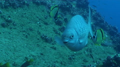 Barberfish cleaning and being cleaned on rocky reef, Johnrandallia nigrirostris, Stock Footage