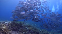 Buddy team of scuba divers swimming on shallow coral reef with Bigeye trevally Stock Footage