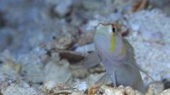 Randalls shrimpgoby, Amblyeleotris randalli, HD, UP17368 Stock Footage
