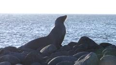 Galapagos sea lion on rocky shore, Zalophus californicum wollebacki, HD, UP26071 Stock Footage