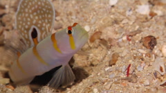 Randalls shrimpgoby looking around, Amblyeleotris randalli, HD, UP17372 Stock Footage