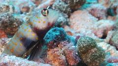 Spotted shrimpgoby, Amblyeleotris guttata, HD, UP17374 Stock Footage