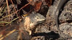 Galapagos land iguana looking around, Conolophus subcristatus, HD, UP26412 Stock Footage