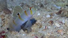 Randalls shrimpgoby housekeeping, Amblyeleotris randalli, HD, UP17388 Stock Footage