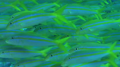 Mexican goatfish swimming and schooling on rocky reef, Mulloidichthys dentatus, Stock Footage