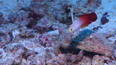 Fire dartfish swimming on rubble, Nemateleotris magnifica, HD, UP17390 Stock Footage