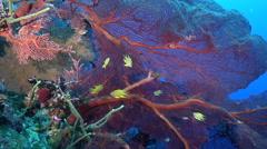 Golden damsel swimming on wall, Amblyglyphidodon aureus, HD, UP26955 Stock Footage