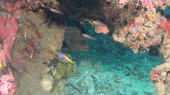 Redmouth grouper hiding on wreckage, Aethaloperca rogaa, HD, UP26916 Stock Footage