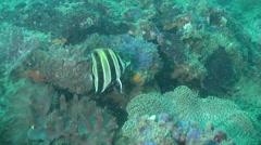 Truncate coralfish swimming, Chelmonops truncatus, HD, UP26489 Stock Footage