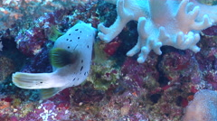 Black-spotted pufferfish swimming, Arothron nigropunctatus, HD, UP17406 Stock Footage