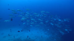 Bigeye trevally swimming and schooling, Caranx sexfasciatus, HD, UP17408 Stock Footage