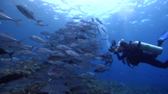 Bigeye trevally taking images on shallow coral reef, Caranx sexfasciatus, HD, Stock Footage