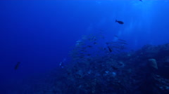 Bigeye barracuda swimming and schooling on deep coral reef, Sphyraena forsteri, Stock Footage