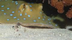 Blue-spotted lagoon ray feeding at night, Taeniura lymma, HD, UP17422 Stock Footage