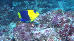 Bicolor angelfish feeding, Centropyge bicolor, HD, UP17424 Stock Footage