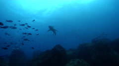 Galapagos shark swimming and schooling on rocky reef, Carcharhinus galapagensis, Stock Footage