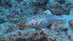 Male adult Latticed sandperch looking around, Parapercis clathrata, HD, UP17429 Stock Footage