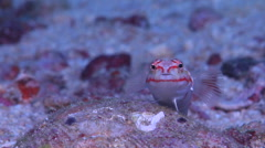 Redspotted sandperch looking around on sand and coral rubble, Parapercis Stock Footage