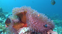 Adults and juveniles Magnificent sea anemone swaying on shallow coral reef, Stock Footage