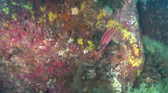 Mexican hogfish hunting on rocky reef, Bodianus diplotaenia, HD, UP26012 Stock Footage