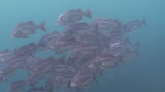 Peruvian grunt swimming and schooling, Anisotremus scapularis, HD, UP26234 Stock Footage
