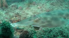 East Australian shovelnose ray, Aptychotrema rostrata, HD, UP26480 Stock Footage