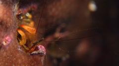 Yellow coral hermit shrimp feeding at night, Paguritta corallicolla, HD, UP17468 Stock Footage