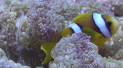 Juvenile Orangefin anemonefish swimming, Amphiprion chrysopterus, HD, UP17476 Stock Footage