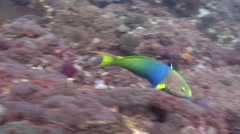 Sunset wrasse swimming on rocky reef, Thalassoma lutescens, HD, UP26645 Stock Footage