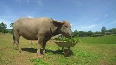 Water buffaloordomestic Asian water buffalo(Bubalus bubalis) Stock Footage